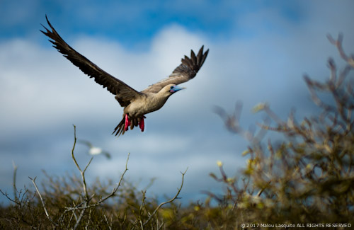 A red-footed booby taking flight on Genovesa Island, Galapagos